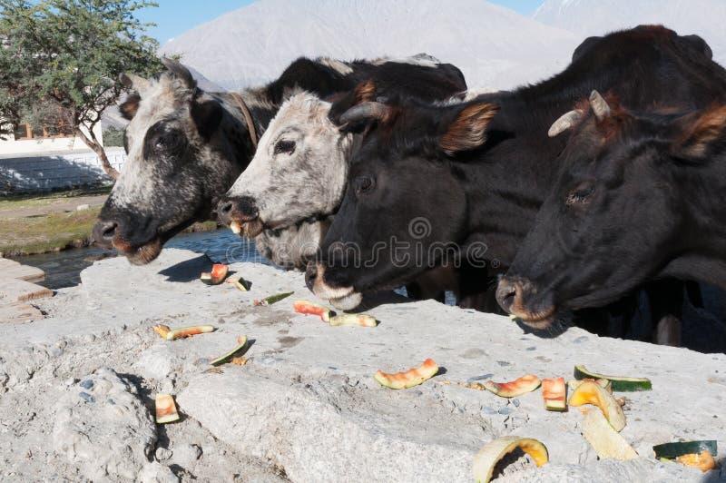 吃瓜果皮外皮垃圾的街道母牛顶头细节 库存图片