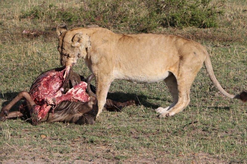 吃生存牺牲者的Lionesse 免版税库存图片