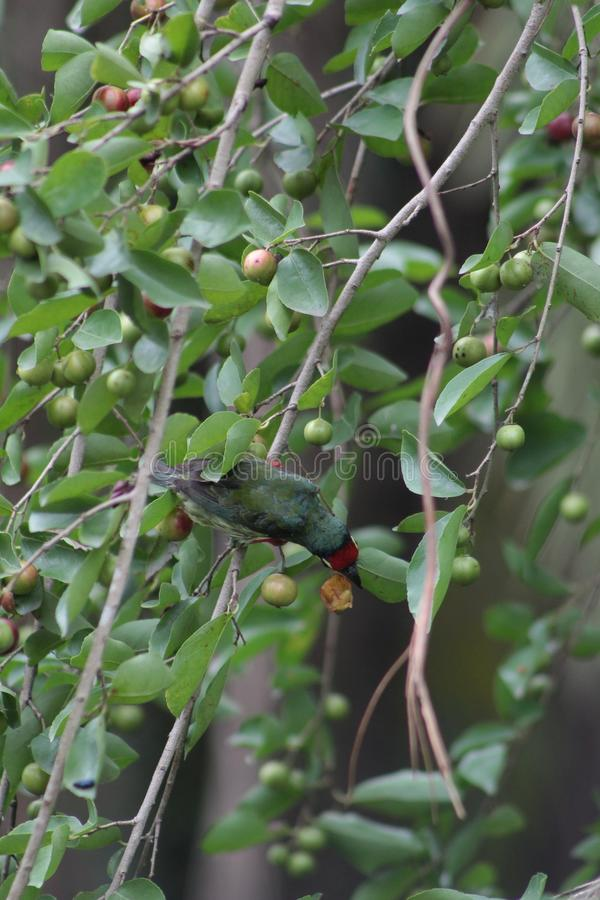 吃由鸟的季节性果子 免版税库存图片