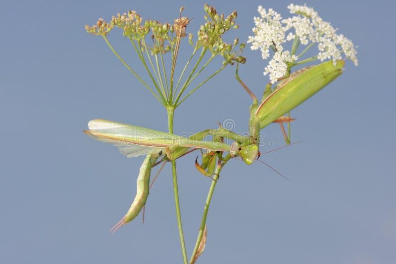 吃男性的螳螂的女性在联接以后 库存图片