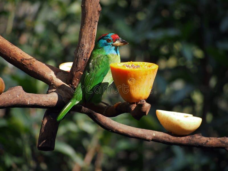 吃番木瓜的五颜六色的鸟 免版税库存照片