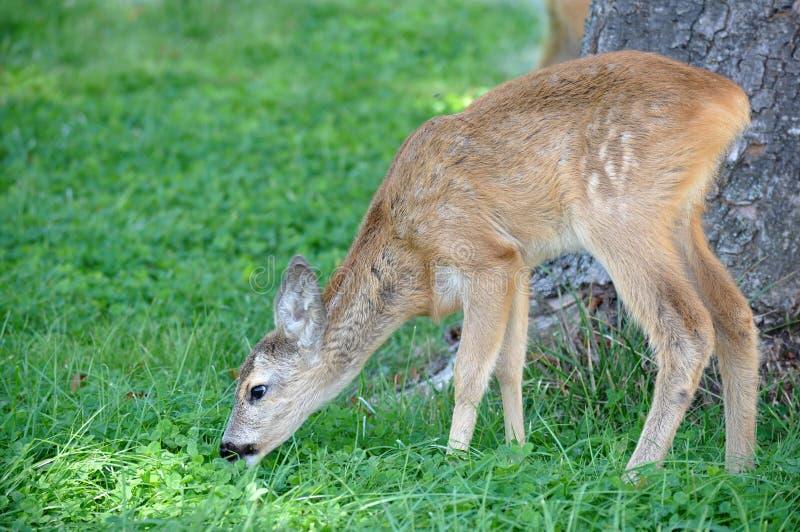 吃白尾鹿的鹿 库存图片