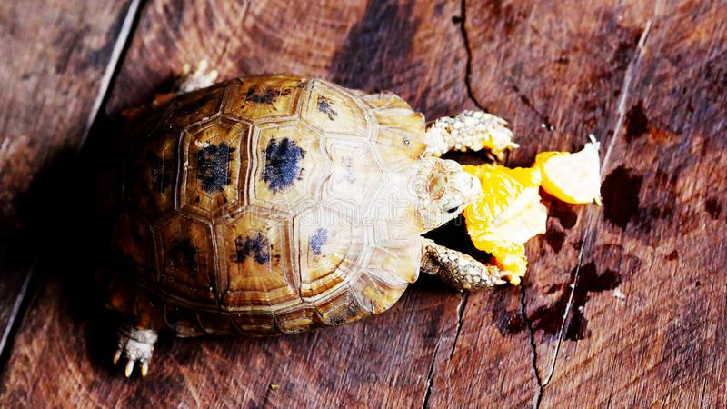 吃着桔子的乌龟是可口的 免版税图库摄影