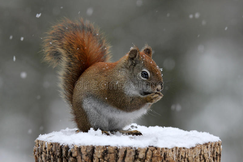 吃种子的红松鼠 免版税库存照片