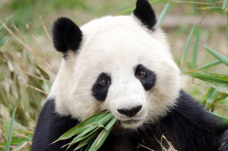 吃竹子,成都,中国的大熊猫 库存照片