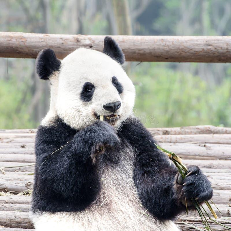 吃竹子,熊猫研究中心成都,中国的熊猫 免版税库存图片