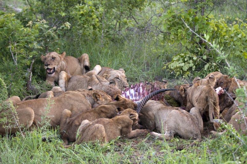 吃系列狮子捕食他们 免版税库存图片