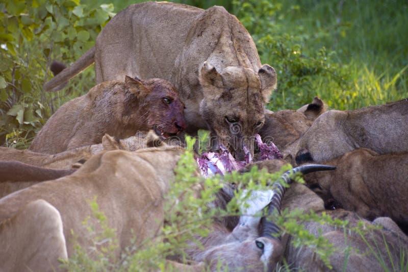 吃系列狮子捕食他们 免版税库存照片