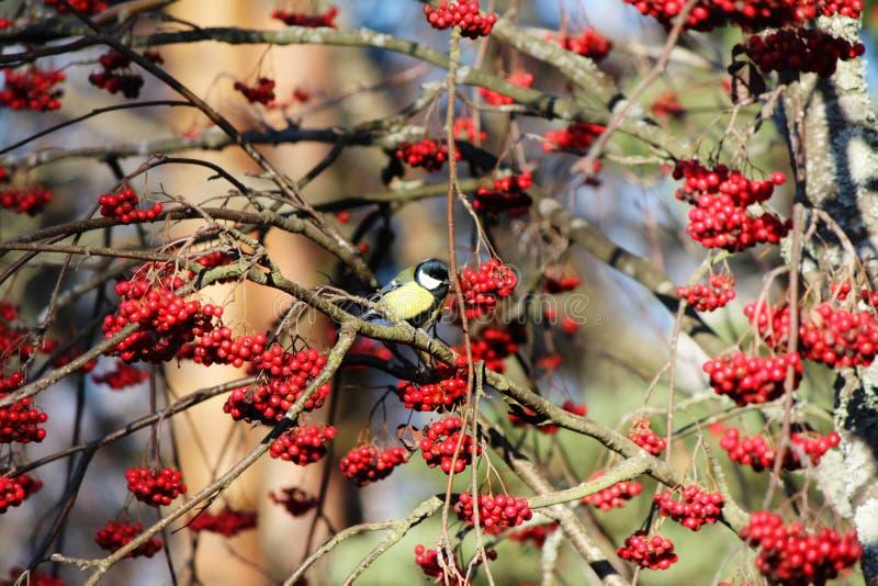 吃红色果子的鸟 免版税库存照片