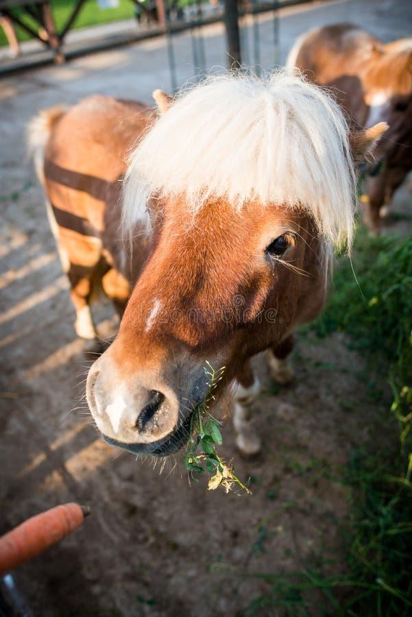吃红萝卜的小马 免版税库存照片