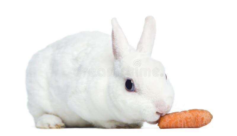 吃红萝卜的微型rex兔子,被隔绝 免版税库存图片