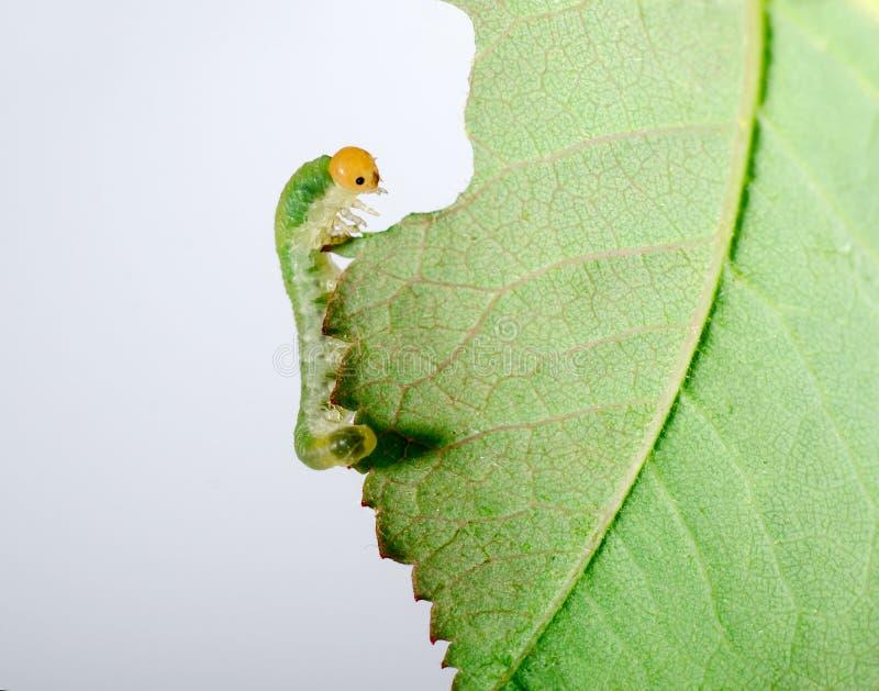 吃绿色叶子的大毛虫 在白色背景隔绝的昆虫 库存照片