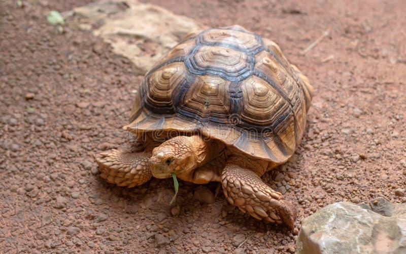 吃绿草的巨型沙子乌龟 免版税库存图片
