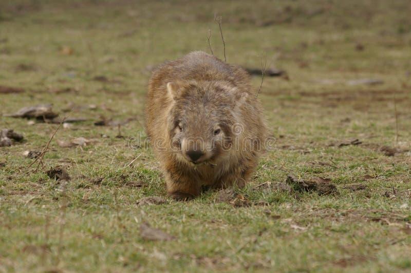 吃绿草的狂放的当地有袋动物的wombat 免版税库存照片