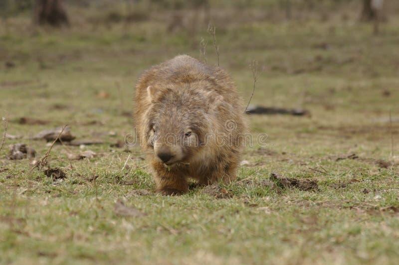 吃绿草的狂放的当地有袋动物的wombat 库存照片