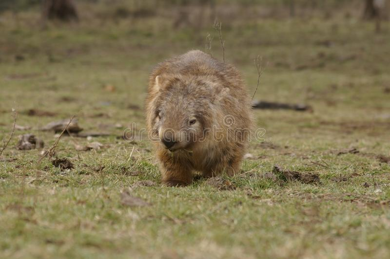 吃绿草的狂放的当地有袋动物的wombat 库存图片