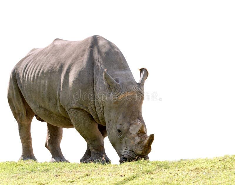 吃绿草的非洲犀牛隔绝了白色背景 库存照片