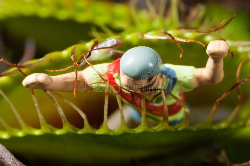 吃缩样的维纳斯捕蝇器叶子 库存图片