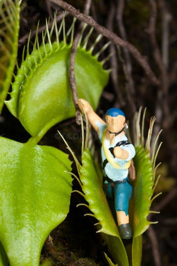吃缩样的维纳斯捕蝇器叶子 免版税库存图片
