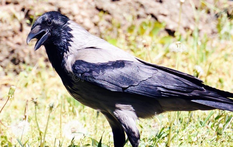 吃腐肉的乌鸦乌鸦座corone鸟 免版税库存图片