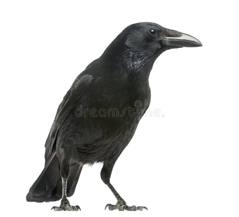 吃腐肉的乌鸦的侧视图,乌鸦座corone,被隔绝 免版税库存图片