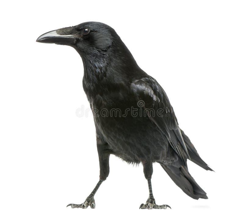 吃腐肉的乌鸦的侧视图,乌鸦座corone,被隔绝 库存照片