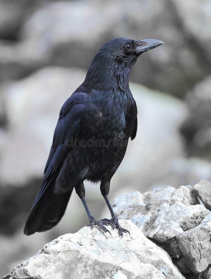 吃腐肉的乌鸦 免版税图库摄影