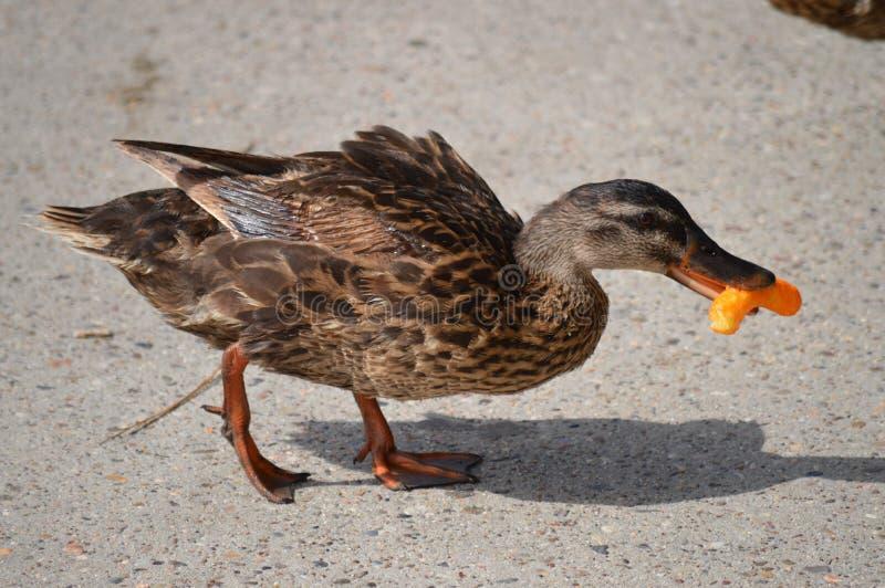 吃芯片的鸭子 库存图片