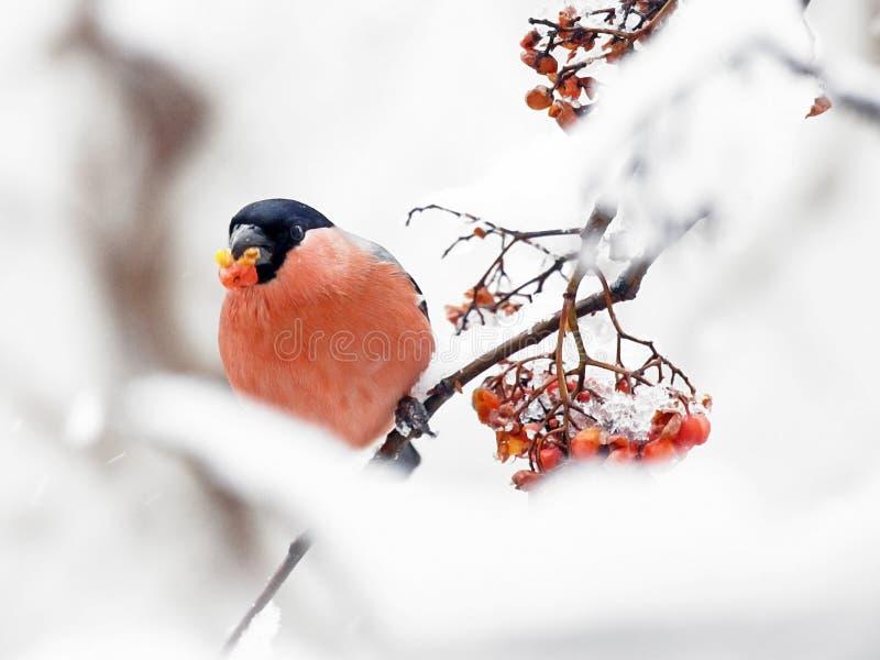 吃花揪果子冬天的一个俏丽的红腹灰雀 库存图片