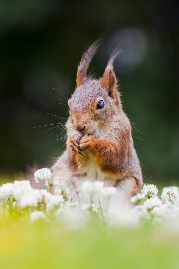 吃花的逗人喜爱的灰鼠 库存照片