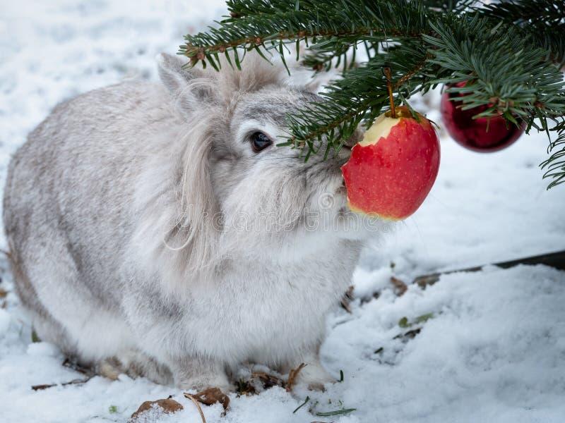 吃苹果的一只白矮星兔子垂悬在圣诞树 库存图片