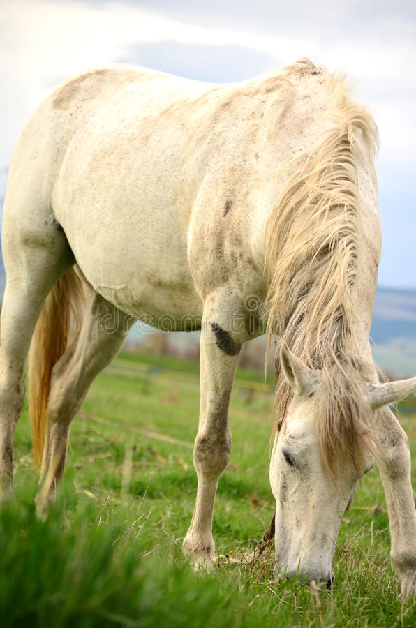 吃草一个的白马的画象 免版税库存照片
