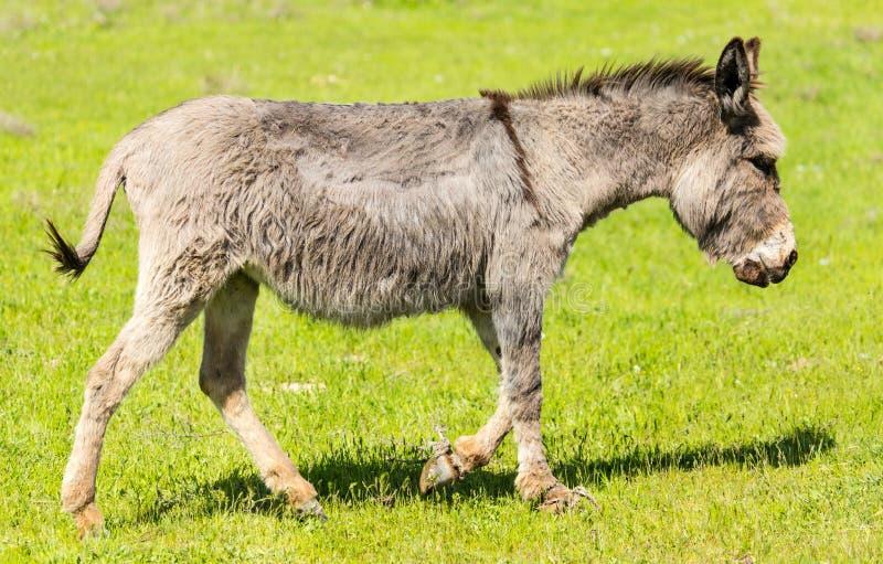 驴吃草一个领域的牧场地与草