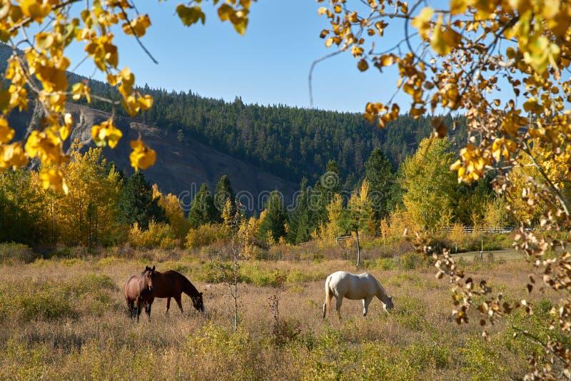 吃草不列颠哥伦比亚省的马 免版税库存照片