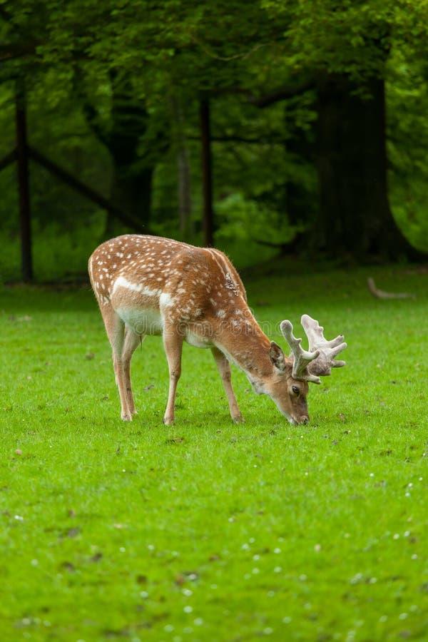 吃草与公园的幼小白尾鹿 库存照片