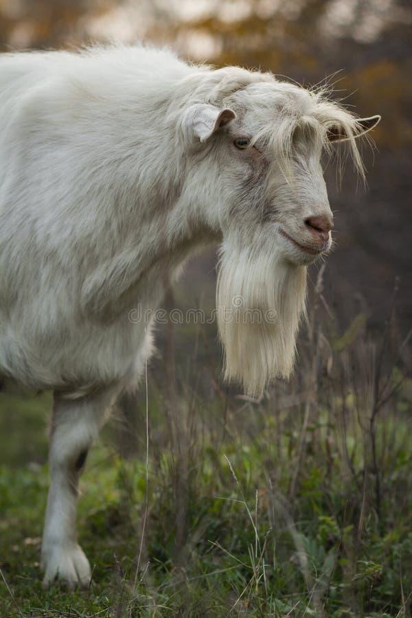 吃草与牧群的一只老有胡子的山羊的画象本质上,野生动物,农业的概念 库存图片