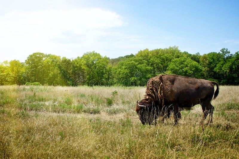 吃草北美野牛的水牛城 图库摄影