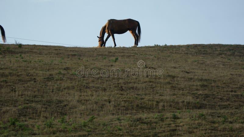 吃草反对天空蔚蓝的马 库存图片