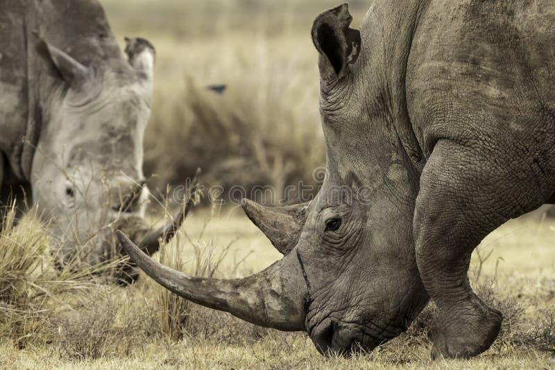 吃草土地的白犀牛在纳库鲁湖,Kenta非洲,白犀属simum 免版税图库摄影