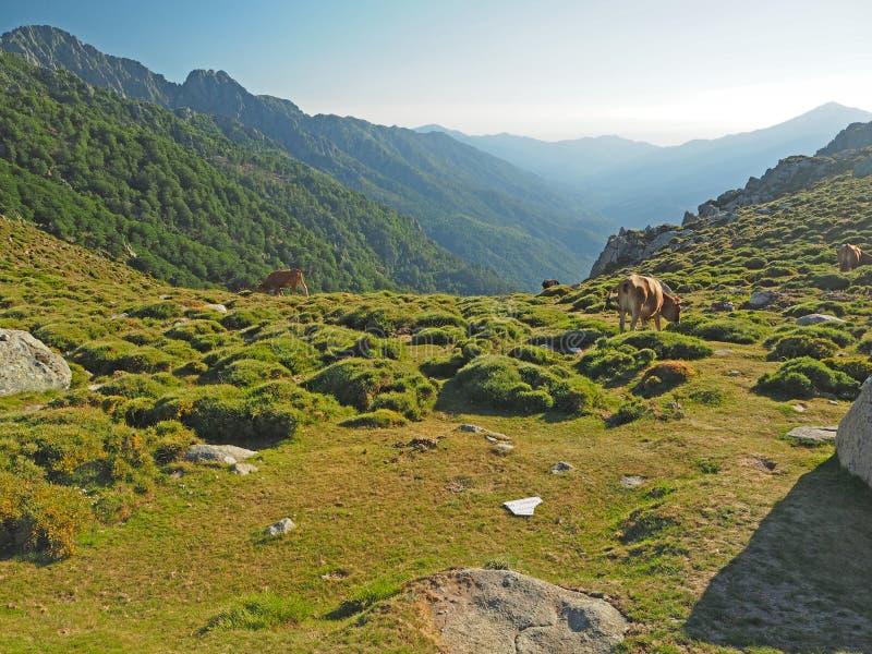 吃草在一个山草甸的母牛一金黄houre的 免版税库存图片