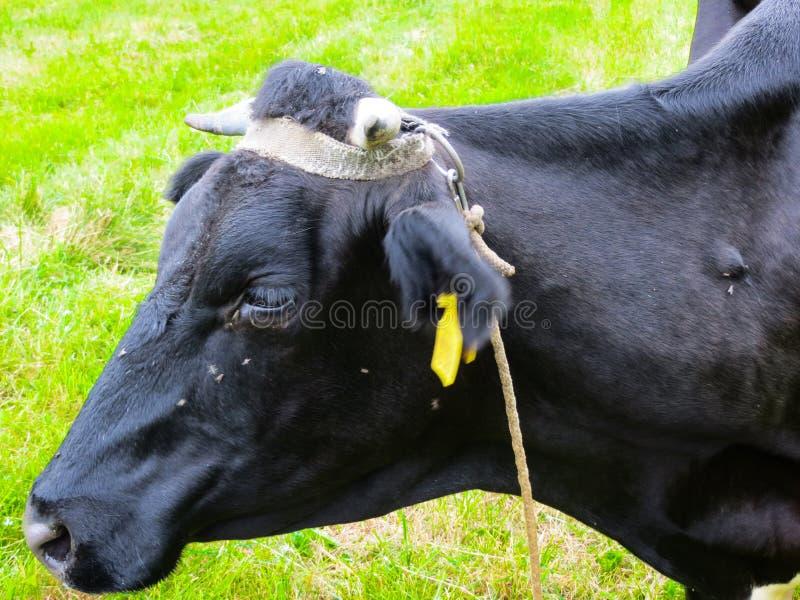 吃草在一个牧场地的黑母牛在村庄 库存照片