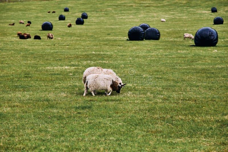 吃草在一个绿色牧场地的冰岛绵羊在冰岛 库存照片