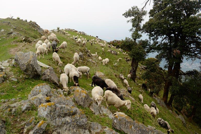 吃草在一个绿色草甸的绵羊牧群  免版税库存图片