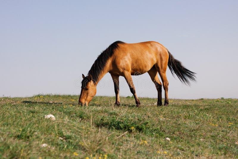 吃草在一个草甸的美丽的红色马在春天 免版税图库摄影