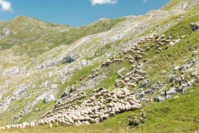 吃草在一个落矶山脉草甸的绵羊大群  免版税库存图片