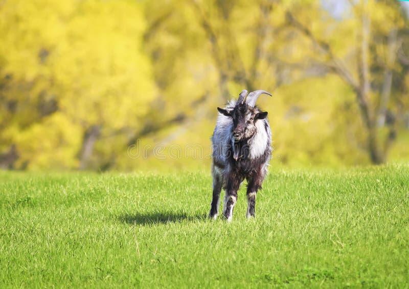 吃草在一个豪华的绿色草甸晴天的滑稽的山羊 免版税库存图片