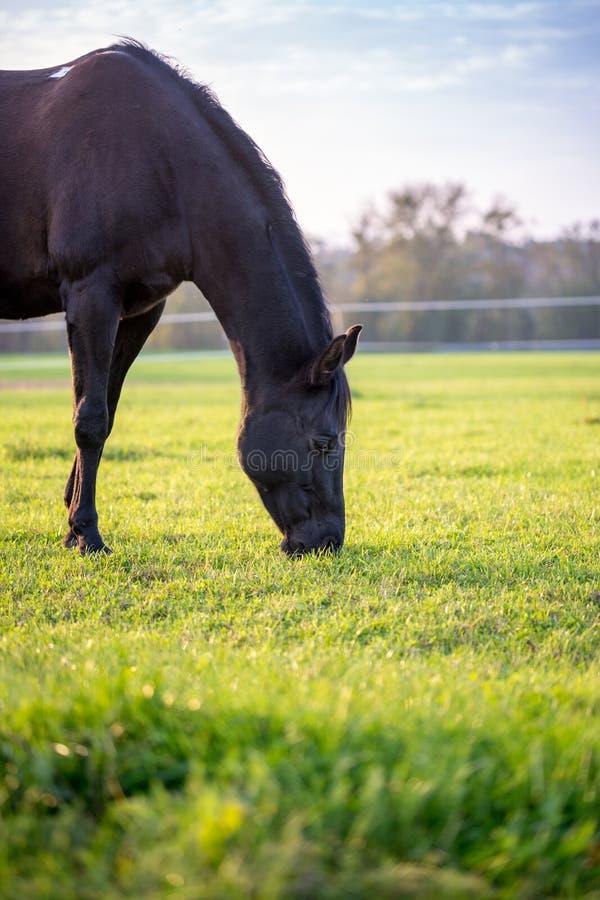 吃草在一个豪华的绿色牧场地的布朗马 库存图片
