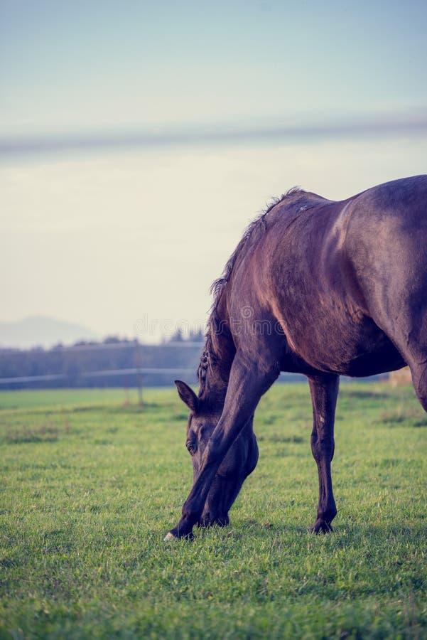 吃草在一个豪华的绿色牧场地的棕色马的减速火箭的图象 库存图片