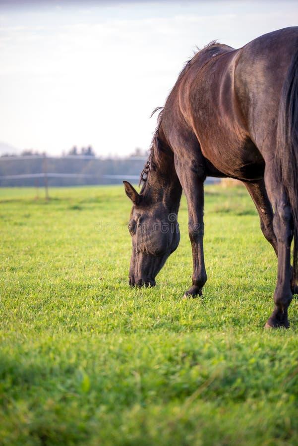 吃草在一个豪华的绿色草甸的布朗马 库存照片