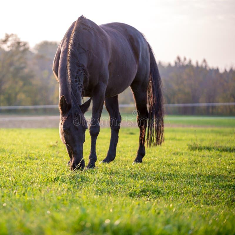 吃草在一个豪华的绿色草甸的马 免版税库存照片